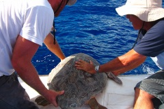 Relâcher d'une tortue caouanne
